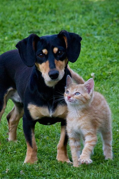 Hund og kat på græs